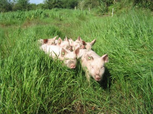 Andarl Farm piggies